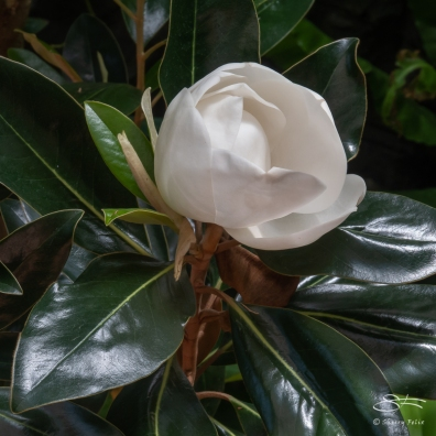 Magnolia, Brooklyn Botanic 4/26/2018