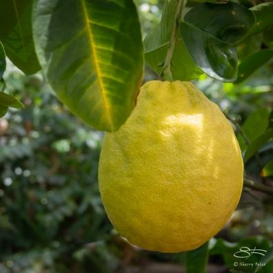 Lemon, Brooklyn Botanic 4/26/2018