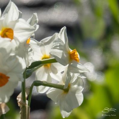 Poet's Daffodil, Central Park 4/26/2018