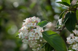 Korean Spice (Viburnum carlesii), Central Park 5/1/2018