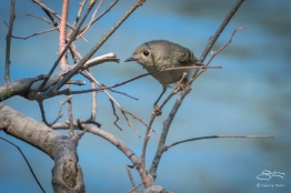 Ruby-crowned Kinglet (Regulus calendula), Central Park 5/1/2018