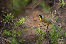 Common Yellowthroat, Central Park 5/1/2018