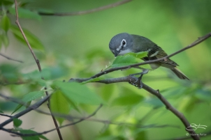Blue-headed Vireo (Vireo solitarius), Central Park 5/3/2018