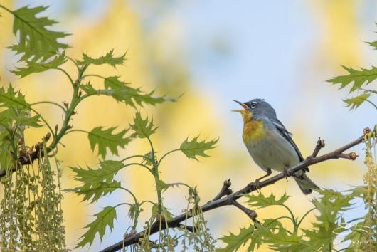 Northern Parula Warbler (Setophaga americana), Central Park 5/3/