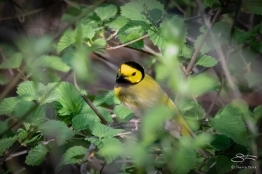 Hooded Warbler (Setophaga citrina), Central Park 5/3/2018