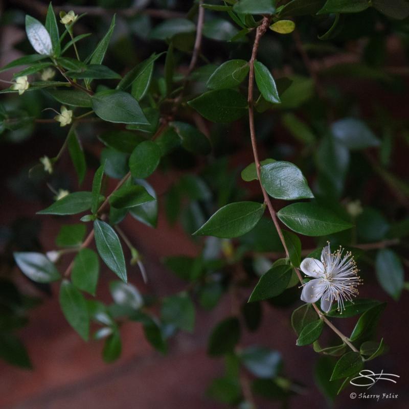 Myrtle (Myrtus communis), Cloisters 6/21/2018
