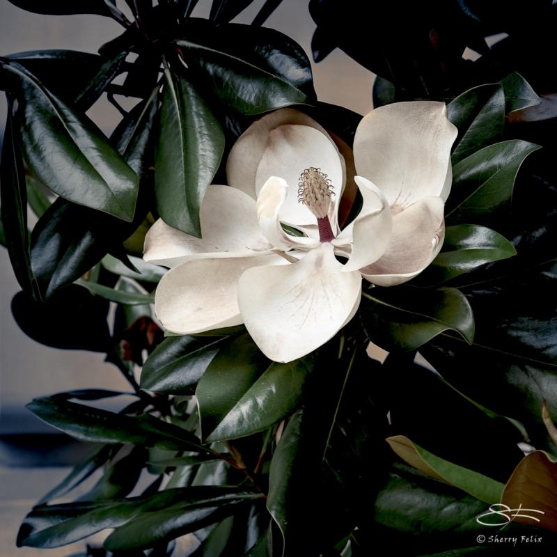 Magnolia grandiflora, Met 6/23/2018