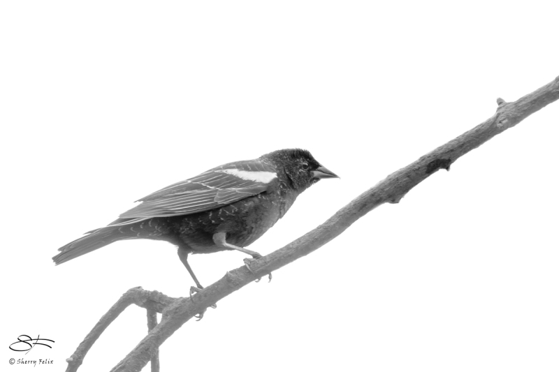 Red-winged Blackbird, Central Park 4/12/2018