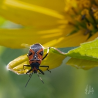 Milkweed Bug (Oncopeltus fasciatus) on Astericae, Central Park 7/7/2018