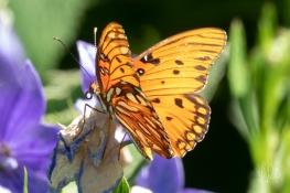 Gulf Fritillary (Agraulis vanillae) on a Campanula, Central Park 7/7/2018