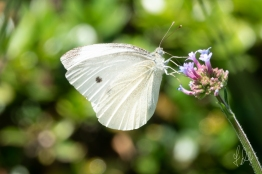 Cabbage White (Pieris rapae), Central Park 7/7/2018