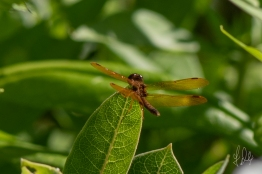 Eastern Amberwing (Perithemis tenera), Central Park 7/7/2018