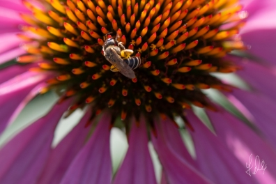 Bee Fly (Bombyliidae) an a Purple Cone Flower (Echinacea purpurea), United States, Central Park 7/7/2018