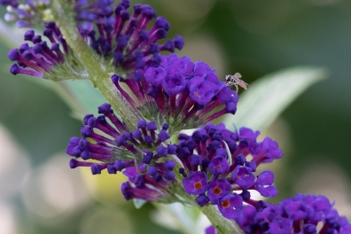 Butterfly Bush (Buddleja davidii) and a small Serphini Estrophella, Central Park 7/7/2018