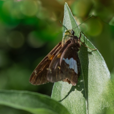 Silver-Spotted Skipper (Hesperia comma), Central Park 7/7/2018Central Park 7/7/2018