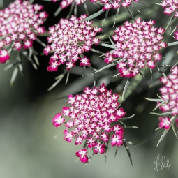 Pink Queen Anne's Lace (Daucus carota), Central Park 7/7/2018