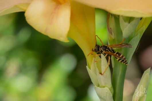 European paper wasp (Polistes dominula), on Yellow Flag (Iris pseudacorus), Central Park 7/7/2018