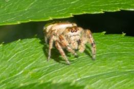 Emerald Jumping Spider (Paraphidippus aurantius), Central Park 7/7/2018