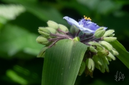 Dayflower family, Spiderwort (Tradescantia x Andersoniana), Central Park 7/7/2018