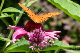 Gulf Fritillary (Agraulis vanillae) on a Purple Cone Flower (Echinacea purpurea), Central Park 7/7/2018