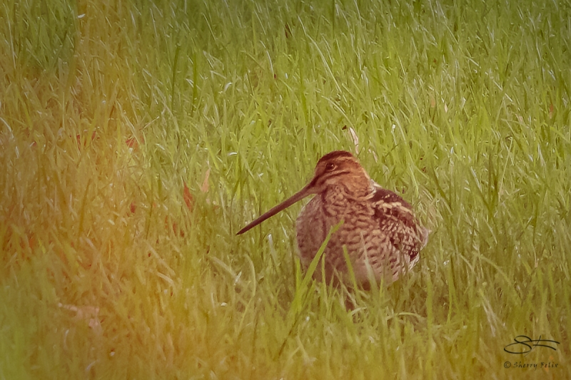 Wilson's Snipe, Central Park 10/14/2018