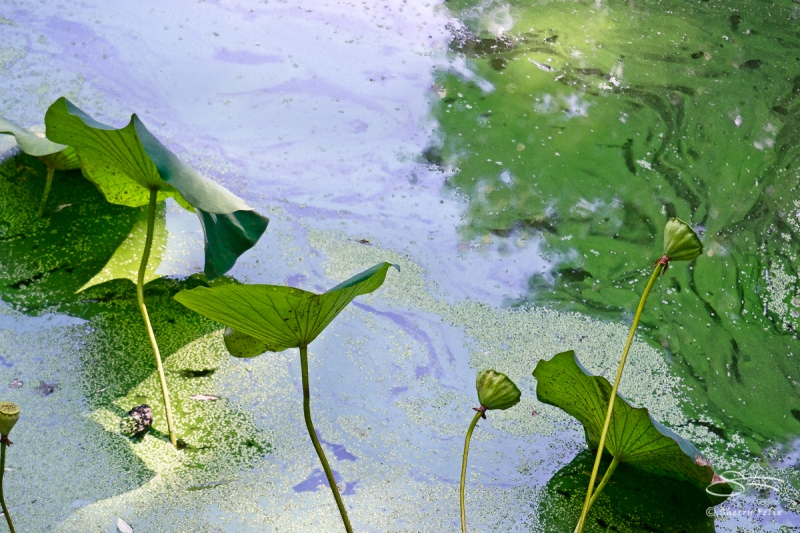 Lily Pads, Central Park 9/16/2011