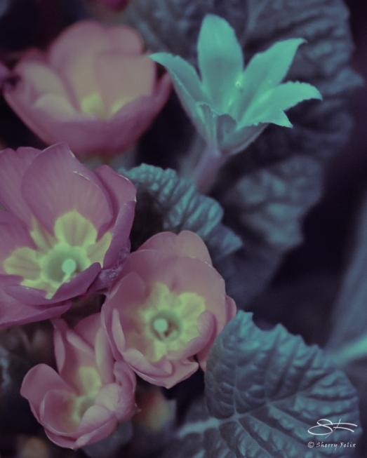 Common Primrose (Primula vulgaris) 3/15/2019