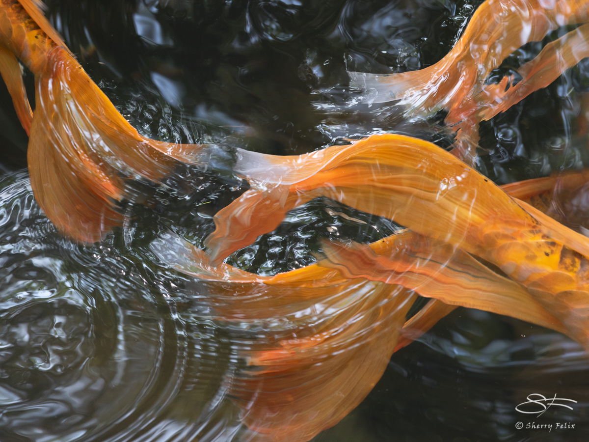 Koi, common carp (Cyprinus carpio), Planting Fields Arboretum, LI, NY 6/29/2019 composit by Sherry Felix