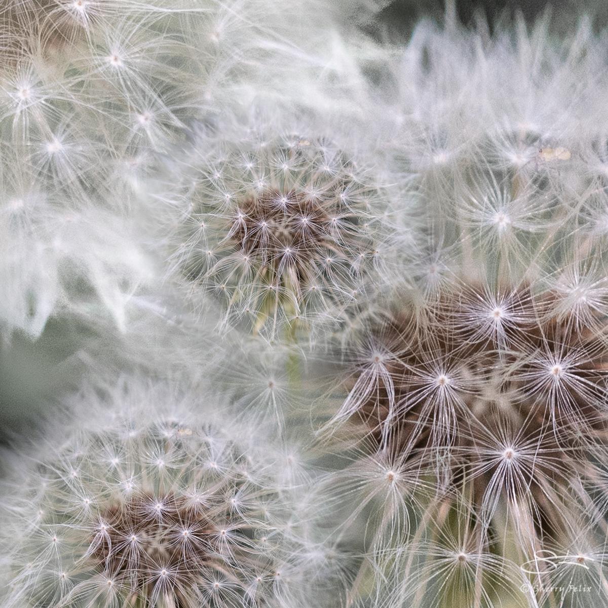 Dandilion composite, Planting Fields Arboretum, LI, NY 6/29/2019