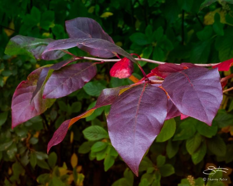 Red leaves, NYBG 10/11/2020