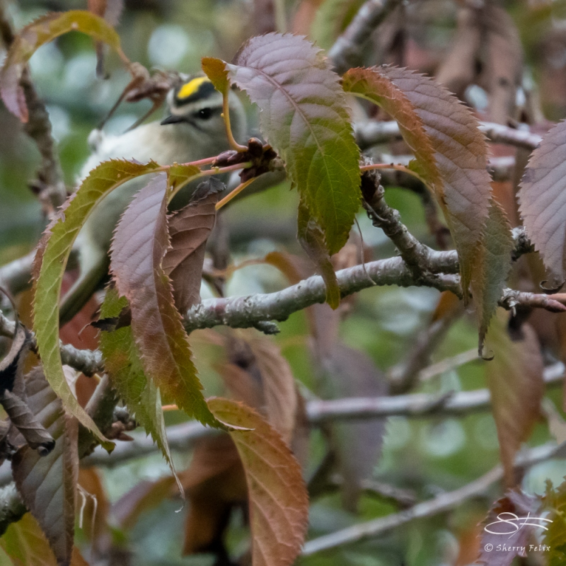 Golden-crowned Kinglet, NYBG 10/11/2020