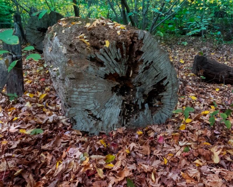Felled tree, NYBG 10/11/2020