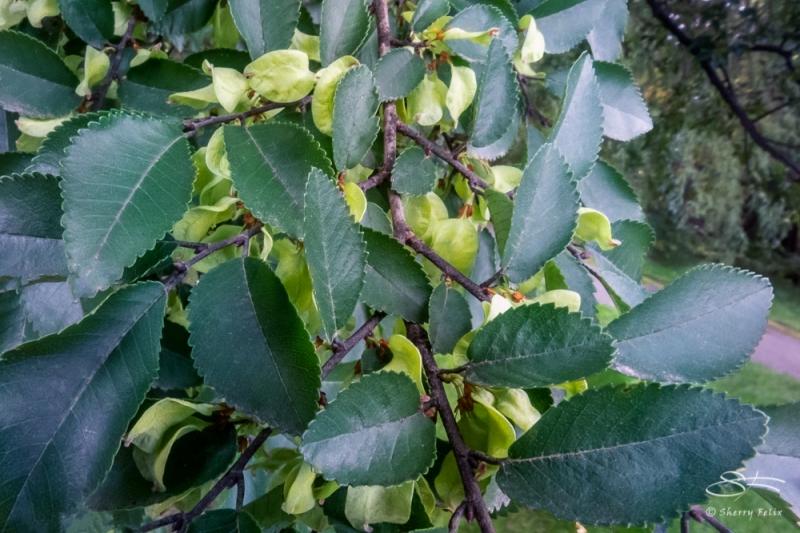 Lacebark Elm 'Central Park Splendor' (Ulmis parvifolia), NYBG 10/11/2020
