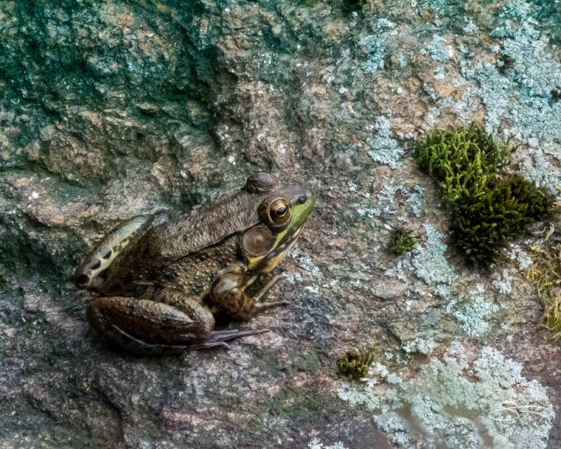 Frog, NYBG 10/11/2020