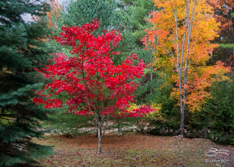 Red Maple, Kerhonkson, NY 10/25/2020