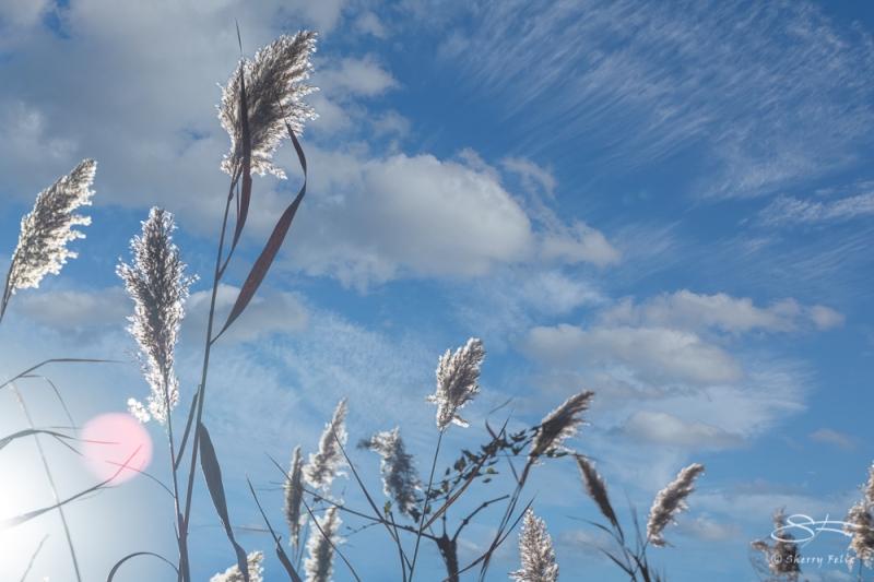 Reed grass (Phragmites), Jamaica Bay 11/4/2020