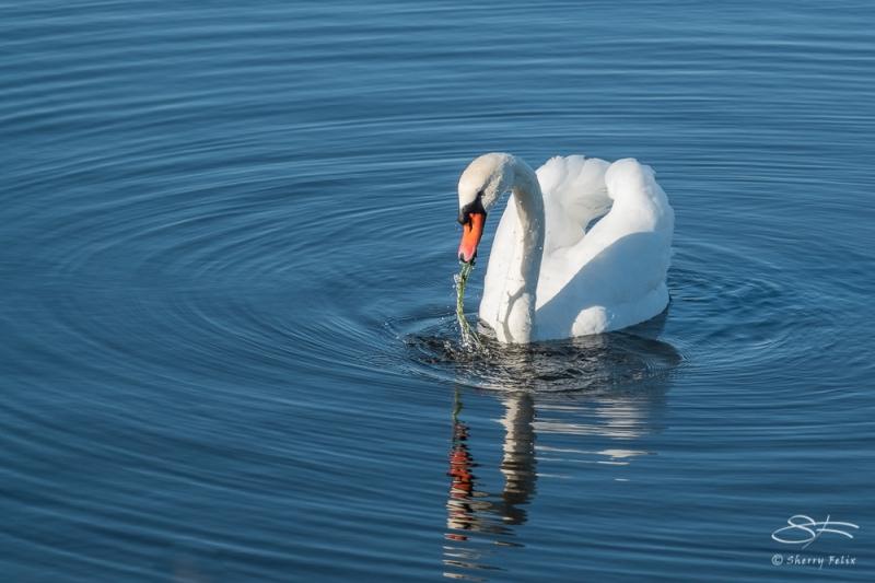 Mute Swan (Cygnus olor), Jamaica Bay 11/4/2020