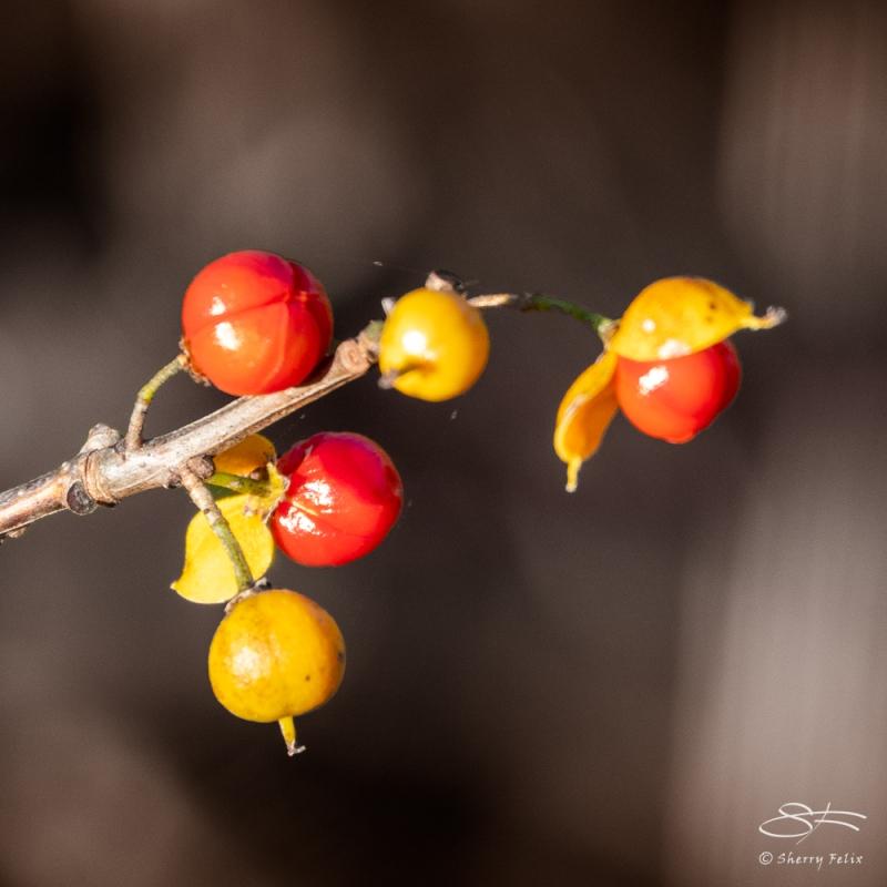 Bittersweet (Celastraceae), Jamaica Bay 11/4/2020