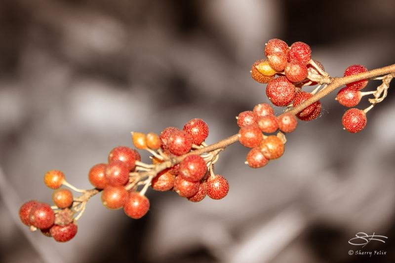 Autumn-Olive (Elaeagnus umbellata), Jamaica Bay 11/4/2020
