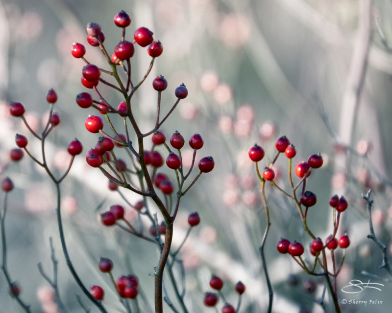 Red berries, Jamaica Bay 11/4/2020