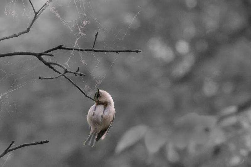 Web and Golden-crowned Kinglet, Central Park 8/11/2017
