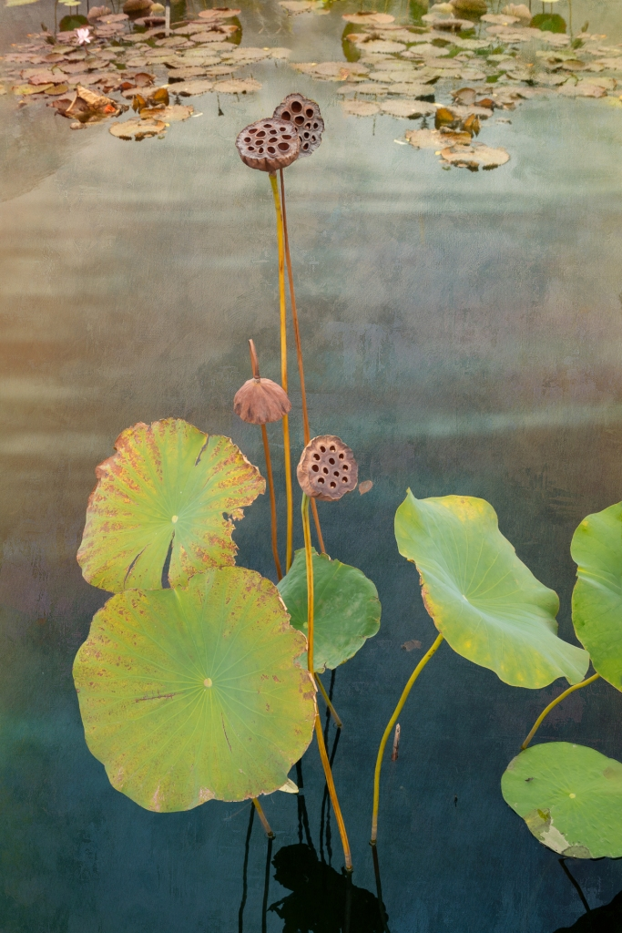 Waterlilies, NYBG 10/11/2020